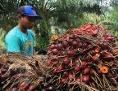 Palmernte in Indonesien
