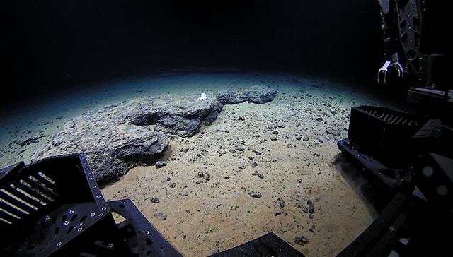 """Tauchroboter Deep Discovery nähert sich dem Tiefseekraken """"Casper"""" in 4290 Metern Tiefe an der Necker Ridge in Hawaii an"""