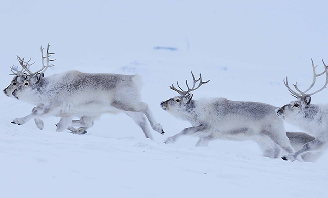 Rentiere in der Arktis