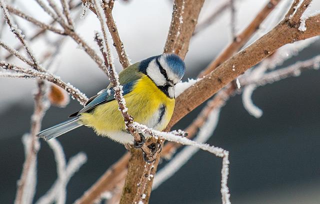 Eine Blaumeise sitzt auf einem kahlen, mit Schnee überzogenen Baum