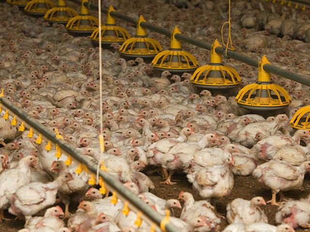 Tausende Hühner in einem Stall eines Geflügelmastbetriebes in Brandenburg