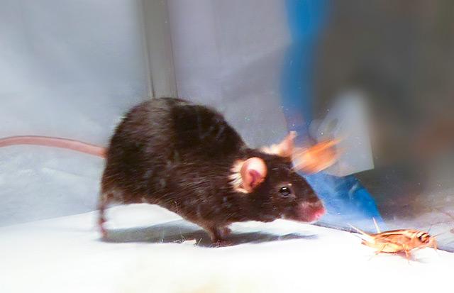 Maus jagt Grille