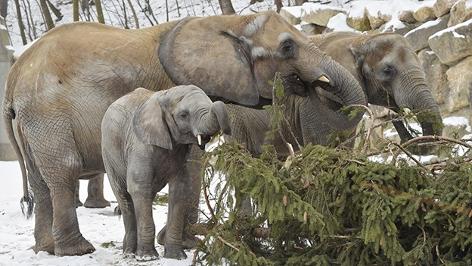 Elefanten beim futtern des Schönbrunner Weihnachtsbaums