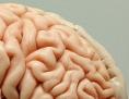 Gehirnmodell (Ausschnitt)