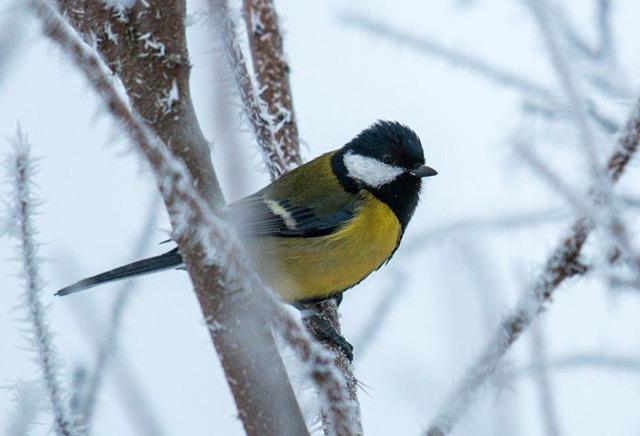 Kohlmeise im Winter auf einem schneebedeckten Ast