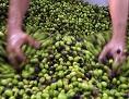 Ein Bauer prüft Oliven vor dem Pressen