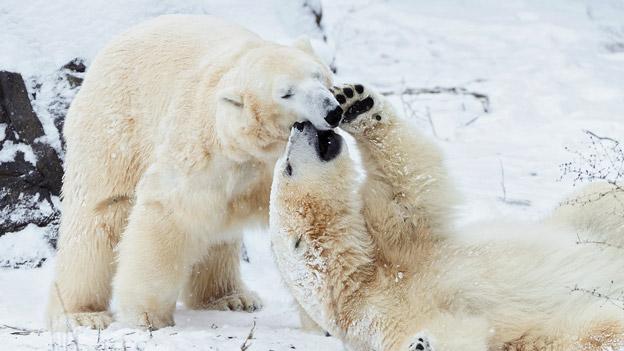 Eisbären im Zoo