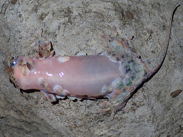 Nackter Fischschuppengecko
