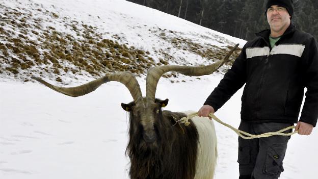 """Walliser Schwarzhals-Ziegenbock """"Rasputin"""" mit seinem Besitzer Martin Pirker"""