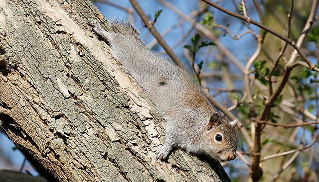 Nordamerikanisches graues Eichhörnchen