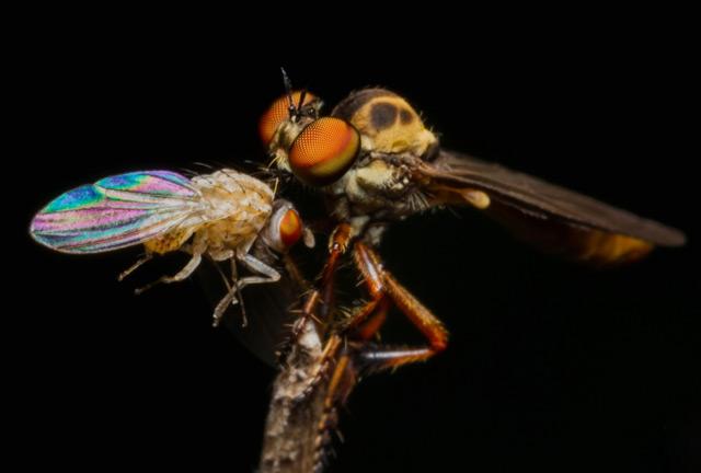 Raubfliege mit erlegter Fruchtfliege