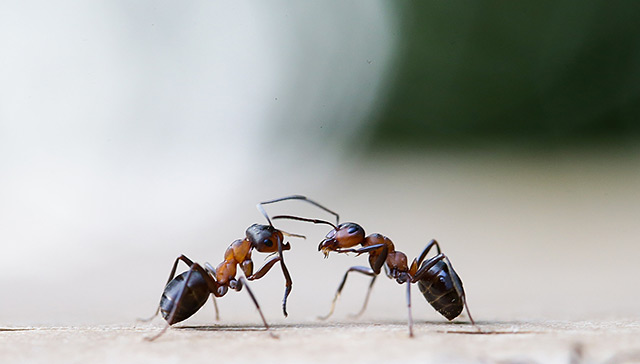 Zwei Ameisen in Großaufnahme