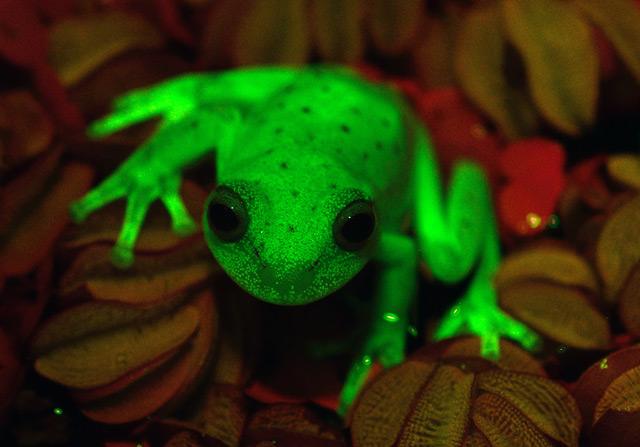 Frosch, der unter UV-Licht leuchtet