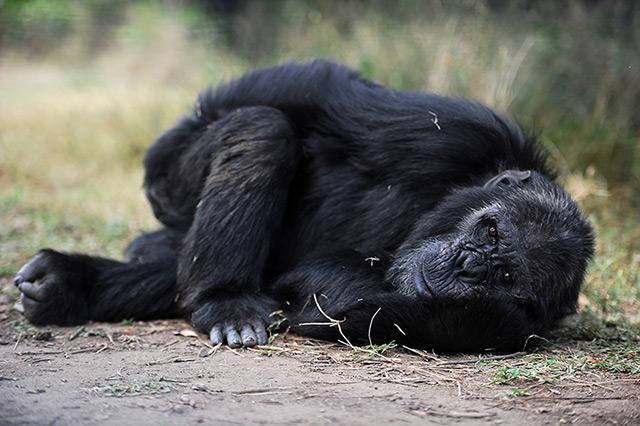 Müder Schimpanse liegt auf dem Boden