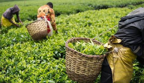 Arbeiterinnen und Arbeiter auf einer Teeplantage in Ruanda