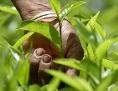 Teepflücker auf einer Plantage in Sri Lanka