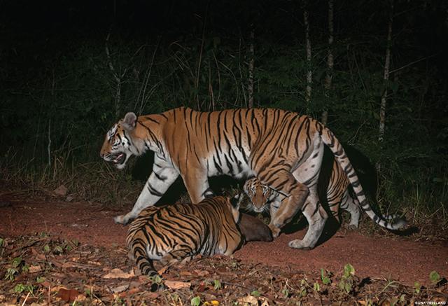 Drei Tiger und ein Beutetier im Dschungel