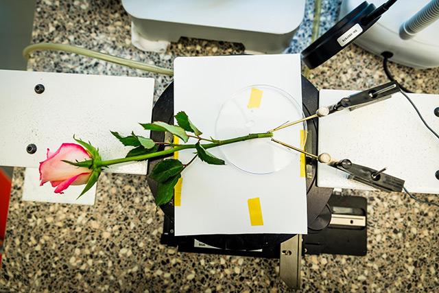 Verkabelete Rose im Labor