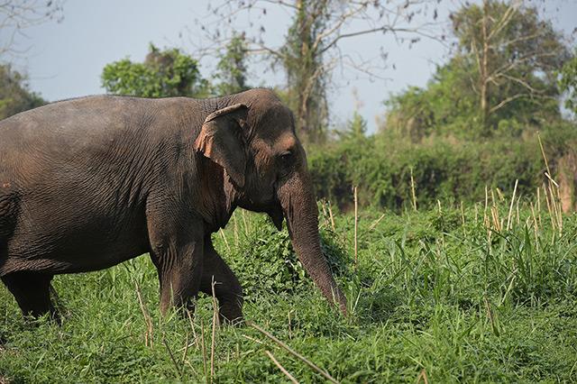 Asiatischer Elefant im Dschungel