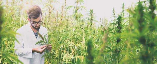 Wissenschaftler in einem Cannabis-Feld