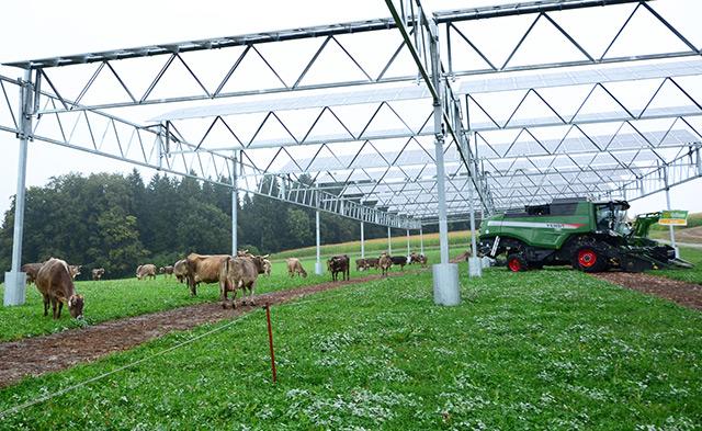Kühe weiden unter der Solaranlage