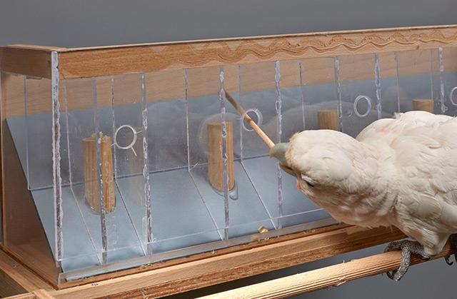 Experiment mit Cashewnuss: Kakadu stochert mit Stoch im Schnabel in einer transparenten Box