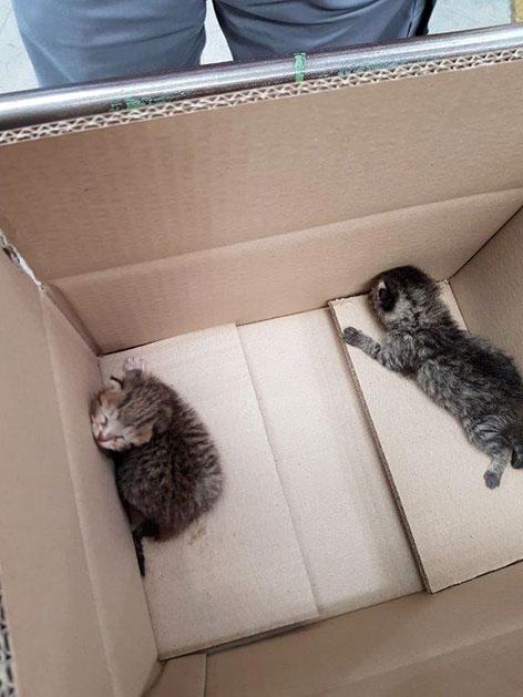 Katzenbabys im Tierheim Hallein