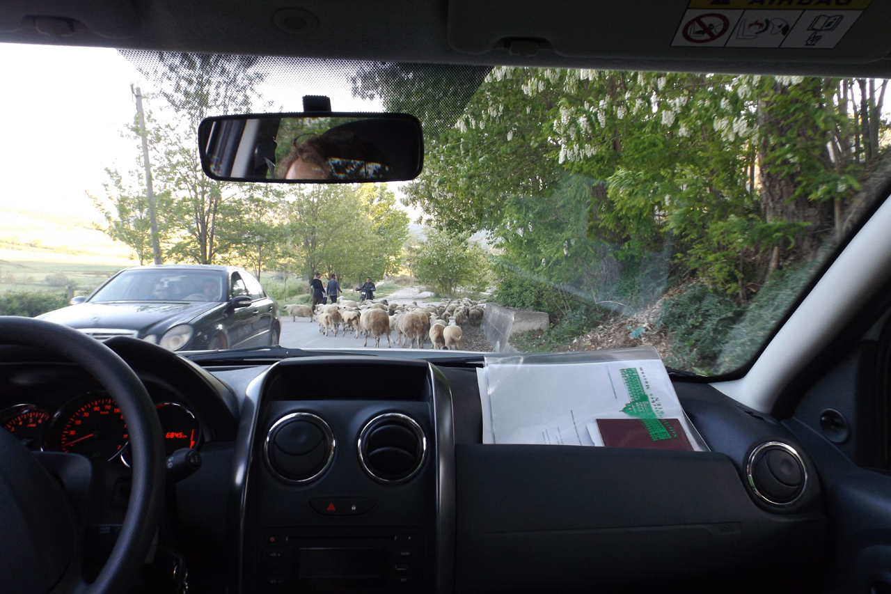 Traffic jam with sheep