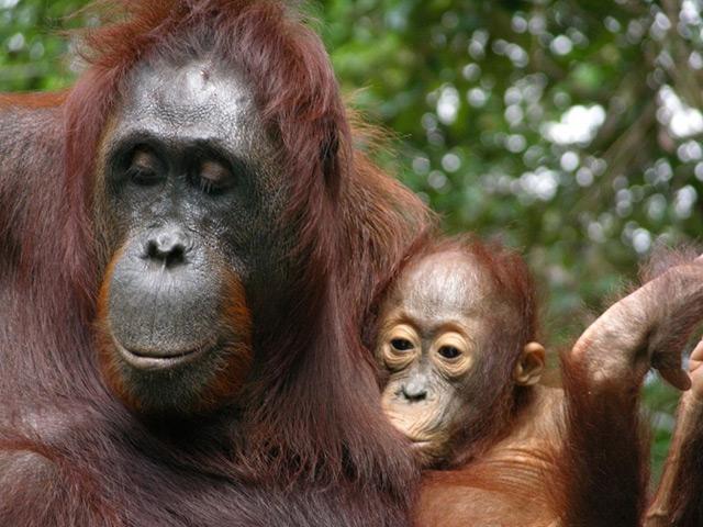 Orang-Utan-Mutter beim Stillen