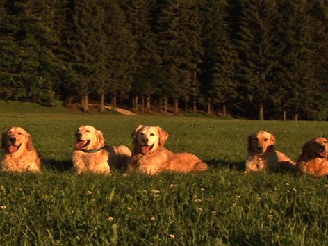 Hunde in der Wiese