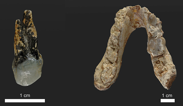 Vormenschen-Fossilien: Zahn und Kiefer