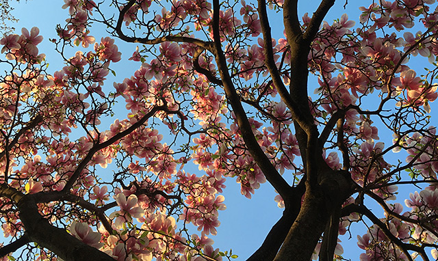 Blüten eines Magnolienbaums