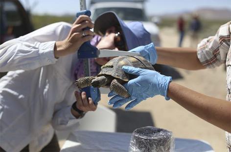 Shannon DiRuzzo untersucht eine Wüstenschildkröte