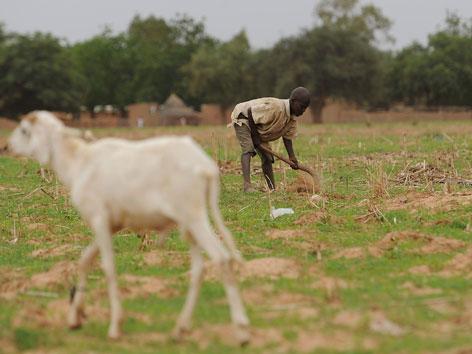 Ein Bub arbeitet auf einem Feld, eine magere Ziege geht vorbei