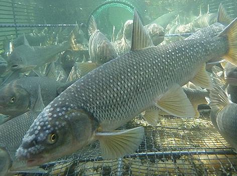 Fischwanderung