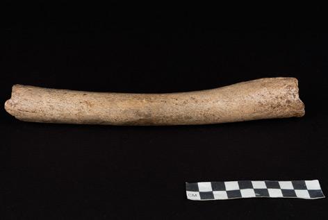 Oberschenkelknochen von Neandertaler