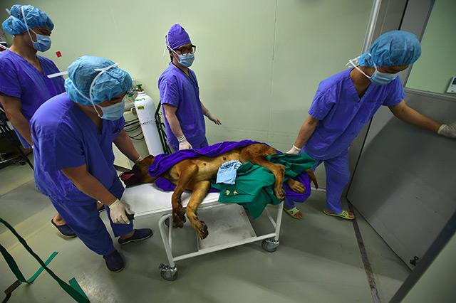 Forscher tragen Hund auf einer Bahre aus dem OP