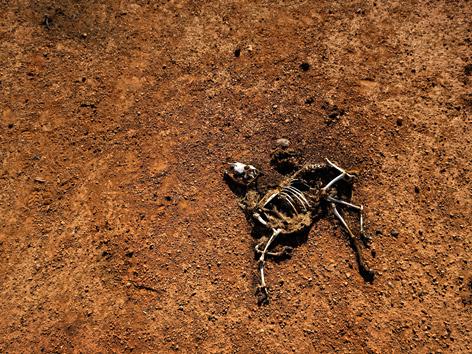 Trockenheit in Afrika: Skelett einer Ziege auf ausgetrocknetem Boden nahe Bandar Beyla, Somalia