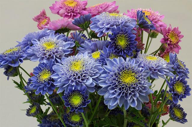Die gentechnisch veränderten blauen Chrysanthemen