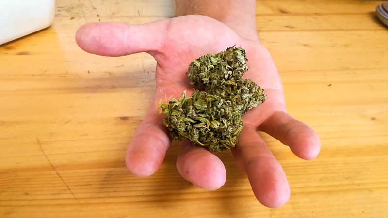 Hand mit CBD-haltiger Cannabisblüte