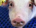 Ein Schwein glotzt in die Kamera