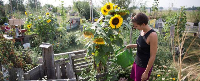 Eine Frau beim Gießen ihrer Sonnenblumen