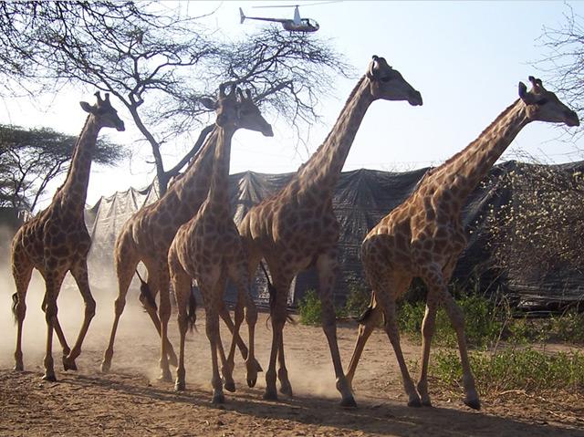 Giraffen, die per Hubschrauber in die Boma getrieben werden
