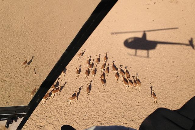 Impalas, die per Hubschrauber in die Boma getrieben werden
