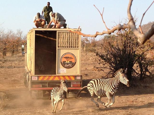 Zebras, die aus einem Lkw in ihre neue Heimat springen