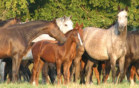 Fohlen in einer Herde