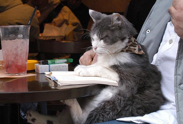 Katze, auf dem Schoß ihres Besitzers, legt die Pfoten in ein Buch