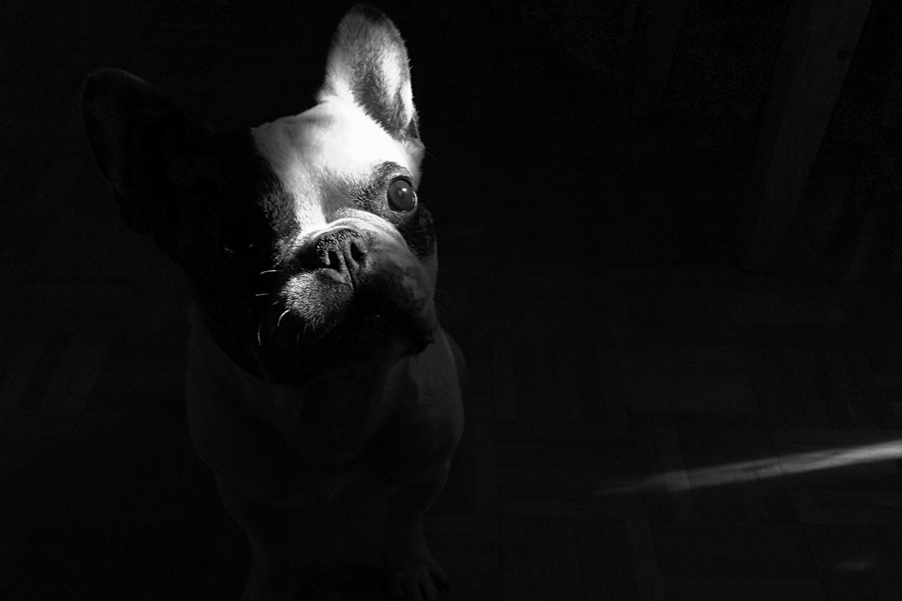 Hund in Lichtstrahl schwarz weiß