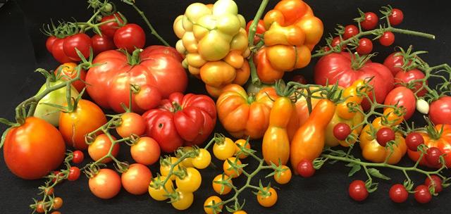 Tomaten in vielen Formen, Farben und Größen