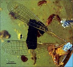 Fossilfund: Libelle in Bernstein